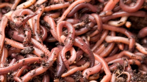 EARTHWORMS IMPORTANCE IN THE NATURE